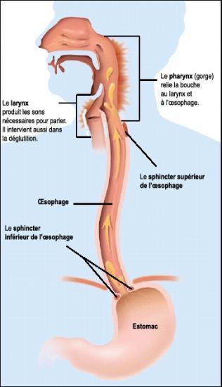 schéma de l'oesophage